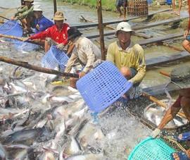 Nhiều lô cá da trơn sang Campuchia không được thông quan
