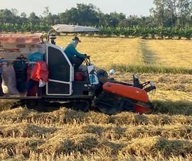 Lúa miền Tây chín không có người mua, đề nghị tạm trữ gấp