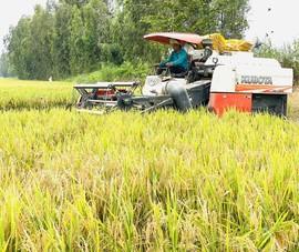 Gần 1,31 triệu tấn lúa ở An Giang được tiêu thụ nhờ phản ứng nhanh
