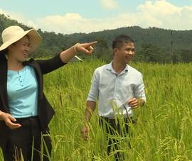 'Thổi luồng gió mới' cho giống lúa quý nổi tiếng