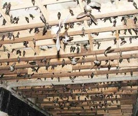 Phát âm thanh dẫn dụ chim yến quá to: Phạt đến 10 triệu đồng