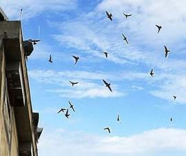 Tiếng ồn từ loa dụ chim yến: Ồn cỡ nào thì bị xử phạt?