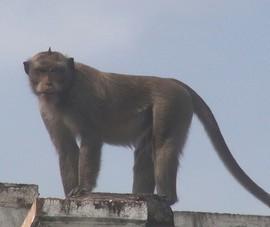 Chở 16 con khỉ chết trên xe máy đi bán thì bị phát hiện