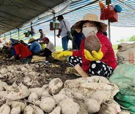 Giá 1 ký khoai lang không bằng ly trà đá, nông dân trắng tay