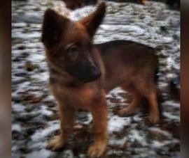 Nga tặng Pháp chó béc giê sau khi 'người hùng bốn chân' Diesel hy sinh