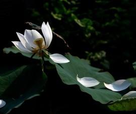 4 nhiếp ảnh gia triển lãm Online 67 tranh ảnh sen làm từ thiện mùa Vu Lan