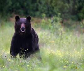 Gấu rừng tấn công làm 1 người ở Quảng Nam nguy kịch