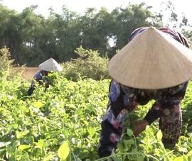 Video: Gỡ khó tiêu thụ nông sản cho nông dân Đà Nẵng