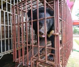 Hình ảnh cứu gấu Cam bị nuôi nhốt trái phép tại Hải Phòng