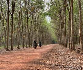 Nhiều công ty cao su đạt chứng chỉ quản lý rừng quốc tế
