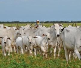 14.000 con bò sống Brazil đang trên đường nhập về Việt Nam