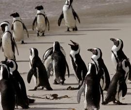 Đàn chim cánh cụt có nguy cơ bị tuyệt chủng ở Nam Phi bị bầy ong giết chết