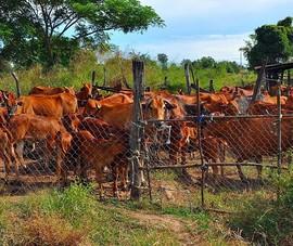 Không khởi tố hình sự vụ thiếu hụt 34 con bò
