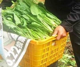 Lãi tiền tỷ từ trồng cải bó xôi
