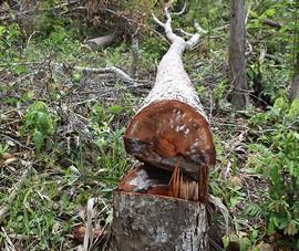 Khởi tố vụ rừng phòng hộ bị phá nhưng chủ rừng không biết