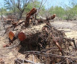 Công ty phá trắng 5 ha rừng phòng hộ, bị đề nghị phạt hành chính?