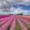 Chiêm ngưỡng cánh đồng hoa tulip đẹp nhất thế giới từ trên cao