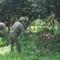 Phát hiện 1 người Pháp trồng 115 cây cần sa ở bãi giữa sông Hồng