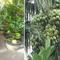 Đi Co.opmart mua cây ổi có trái giá chỉ từ 50.000 đồng