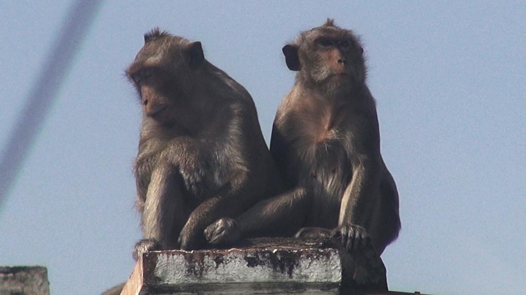 Đàn khỉ đại náo đã bị bắt 6 con, 4 con còn lại đã đi đâu?