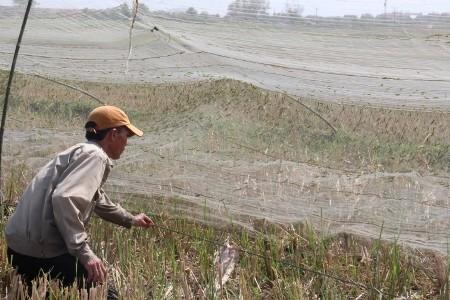 Từng đàn châu chấu bị dính chặt vào lưới