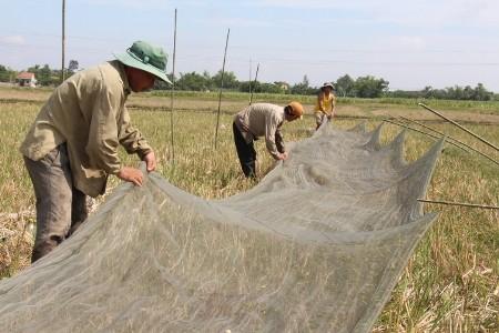 Sau cuộc vây bắt, những người thợ săn chỉ cần cuốn lưới lại rồi thu gom châu chấu về