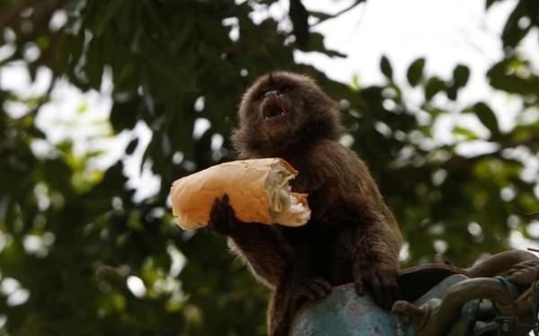 Con khì này đang ăn bánh mì của du khách cho tại sở thú ở Caracas, Venezuela