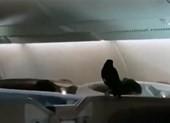 Máy bay náo loạn vì chim sáo 'đi lậu' máy bay