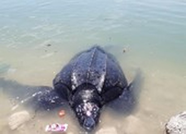 Rùa biển 300 kg mắc lưới ngư dân Lý Sơn