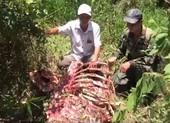 Một con bò tót bị giết lấy thịt tại Vườn quốc gia Cát Tiên