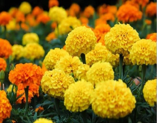 Bông vạn thọ là loại hoa bình dân hầu như không thể thiếu trong mỗi dịp Tết