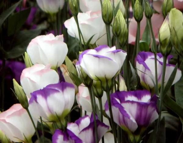 Như tên gọi, hoa cát tường được tin rằng sẽ mang lại may mắn.