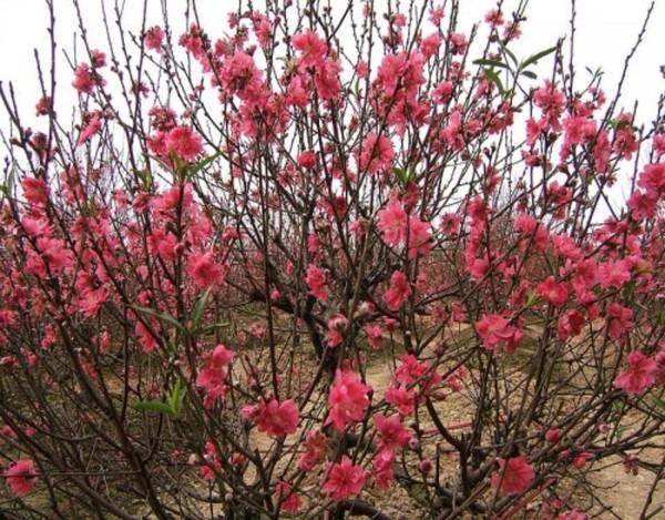 Hoa đào được coi là loài hoa mang tới nguồn sinh khí cho năm mớ