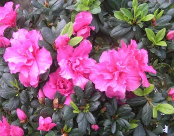 Hoa đỗ quyên.