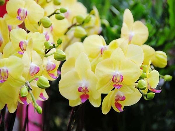 Những năm gần đây, hoa lan rất được ưa chuộng trong các dịp Lễ, tết