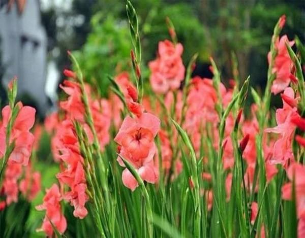 Mỗi màu hoa lay ơn ẩn chứa một ý nghĩa khác nhau.