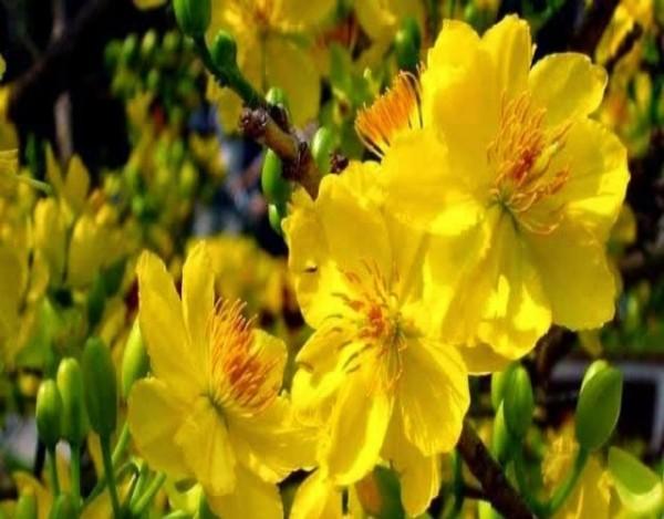 Mai vàng tượng trưng cho sự sang trọng, quý phái, hạnh phúc.