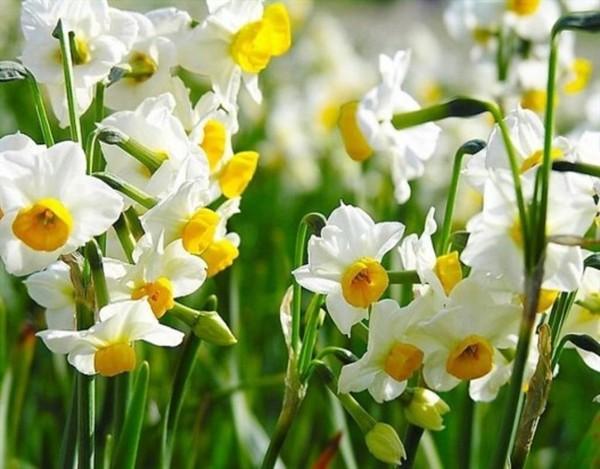 Theo văn hóa phương Đông, hoa thủy tiên mang ý nghĩa tốt đẹp, an lành.