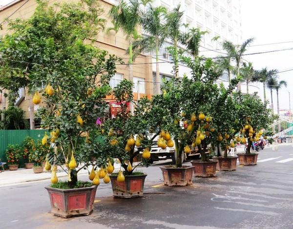 Những cây bưởi trái vàng lúc lỉu tượng trưng cho năm mới tài lộc, sung túc