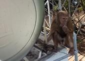 Dùng lưới bắt được 1 con trong bầy khỉ cắn người ở Bình Dương