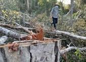 Rừng tự nhiên Đắk Lắk lại bị 'xẻ thịt' dịp tết