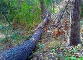 Lâm tặc triệt hạ hàng trăm cây rừng tại suối Vàng, Tà Kóu