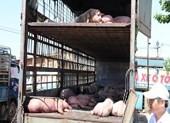 111 con heo trên xe chở heo nhiễm dịch tả châu Phi... mất tích