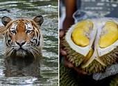 Loài hổ quý hiếm ở Malaysia bị đe dọa bởi... sầu riêng