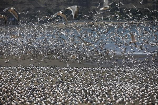 Mùa hè này, bãi biển Agua Dulce - từ thiên đường của người dân Peru - đã trở thành thiên đường cho các loài chim biển. Ảnh: AP 2