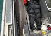 Bắt được cá sông khổng lồ 100 tuổi, nặng hơn 100 kg