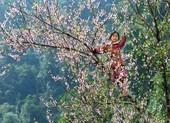 Sơn La kiến nghị Thủ tướng cho truy xuất nguồn gốc cây đào