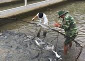 Bị cá tầm Trung Quốc 'tấn công', cá tầm Việt thiệt hại 200 tỉ