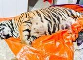 1 con hổ bị chích điện chết ở nhà dân: Chủ nhà khai gì?