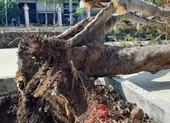 Sau vụ cây đổ, những lưu ý khi trồng cây xanh trong trường học